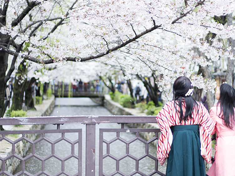 京都高瀬川の桜は今が見頃!雨で散り始めてますお早めに(2017年)